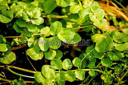 wasserkresse frisch essbares kraut und heilpflanze