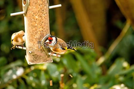 der europaeische goldfink in einem futterhaus