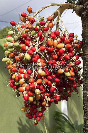 eine palme mit roten fruechten