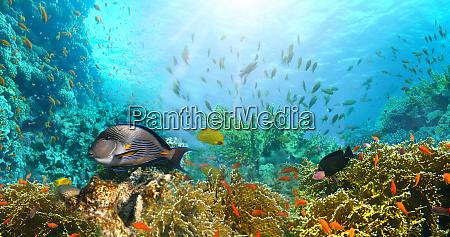 unterwasserwelt korallenfische des roten meeres