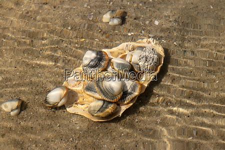 gewoehnliche herzmuscheln essbare salzwassermuscheln unter wasser