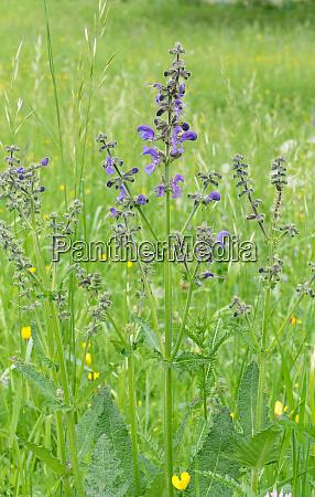 blooming meadow sage