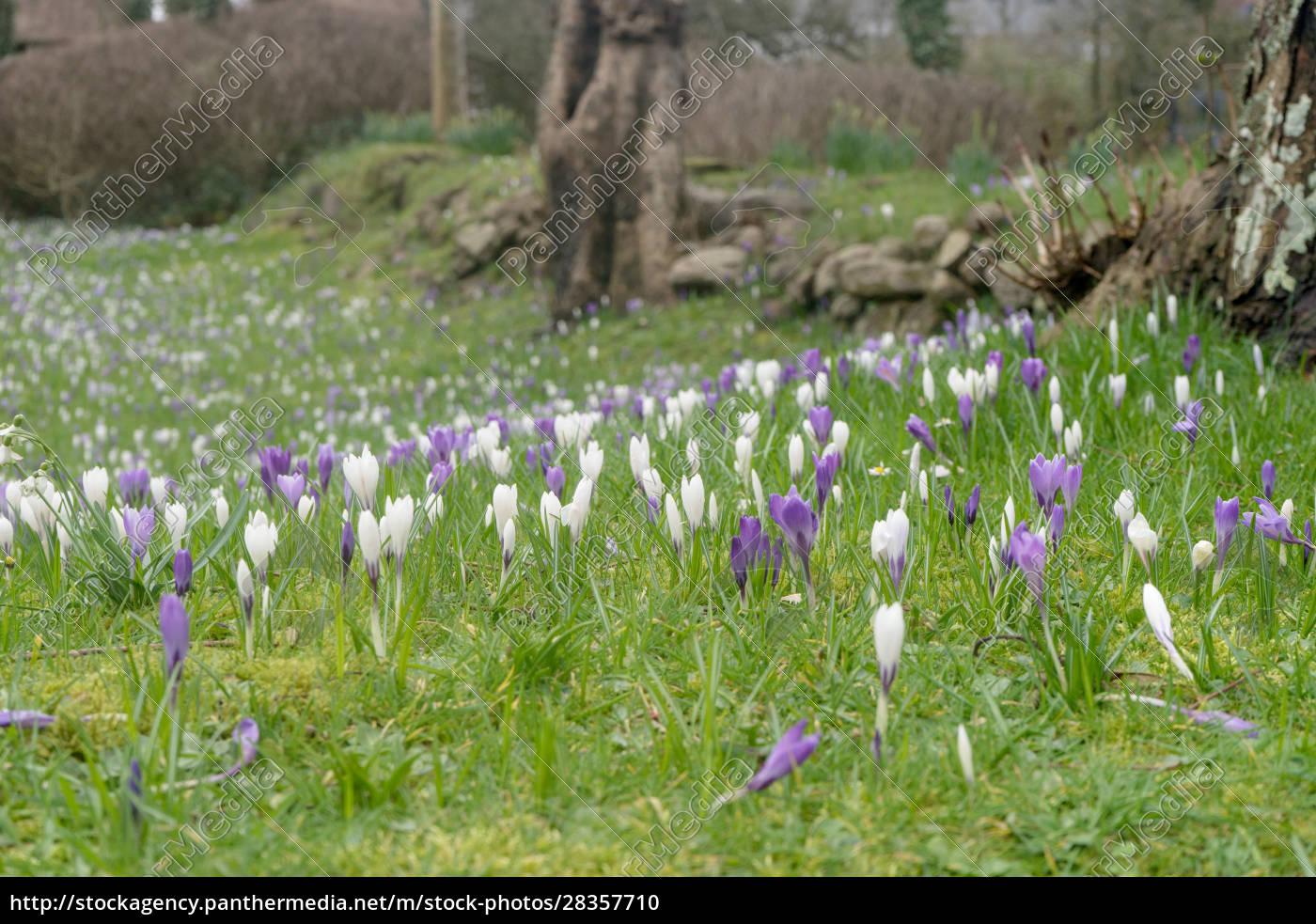 crocuses, in, spring - 28357710