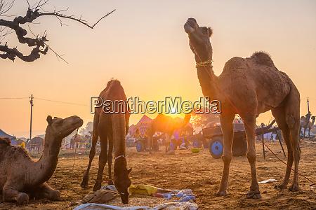 pushkar mela kamel messe festival im