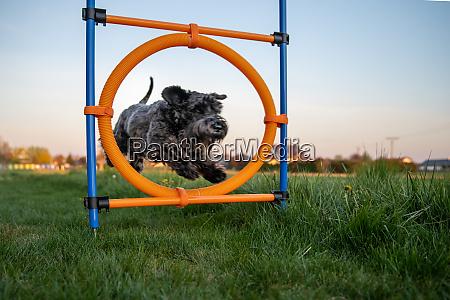 kleiner schwarzer hund auf agilitaet springt