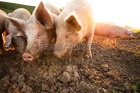 schweine essen auf einer wiese in