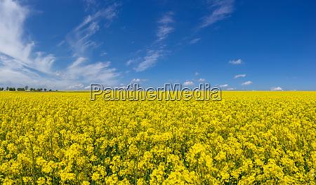 gelbes bluehendes rapsfeld mit malerischer wolkenlandschaft