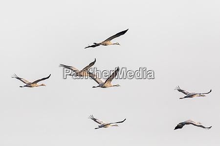 fliegende vogelherde common crane hortobagy ungarn