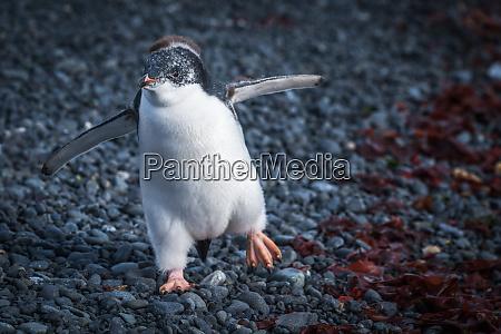 lustige adelie pinguin kueken waten auf