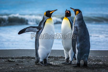drei pinguine am strand mit brandung
