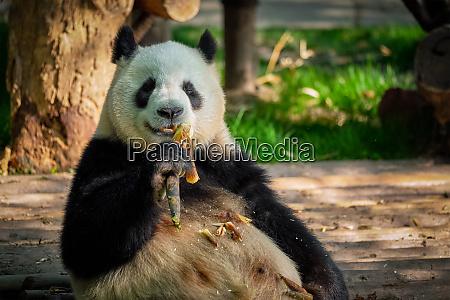 riesen pandabaer in china
