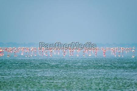 rosa flamingo voegel am sambhar salt