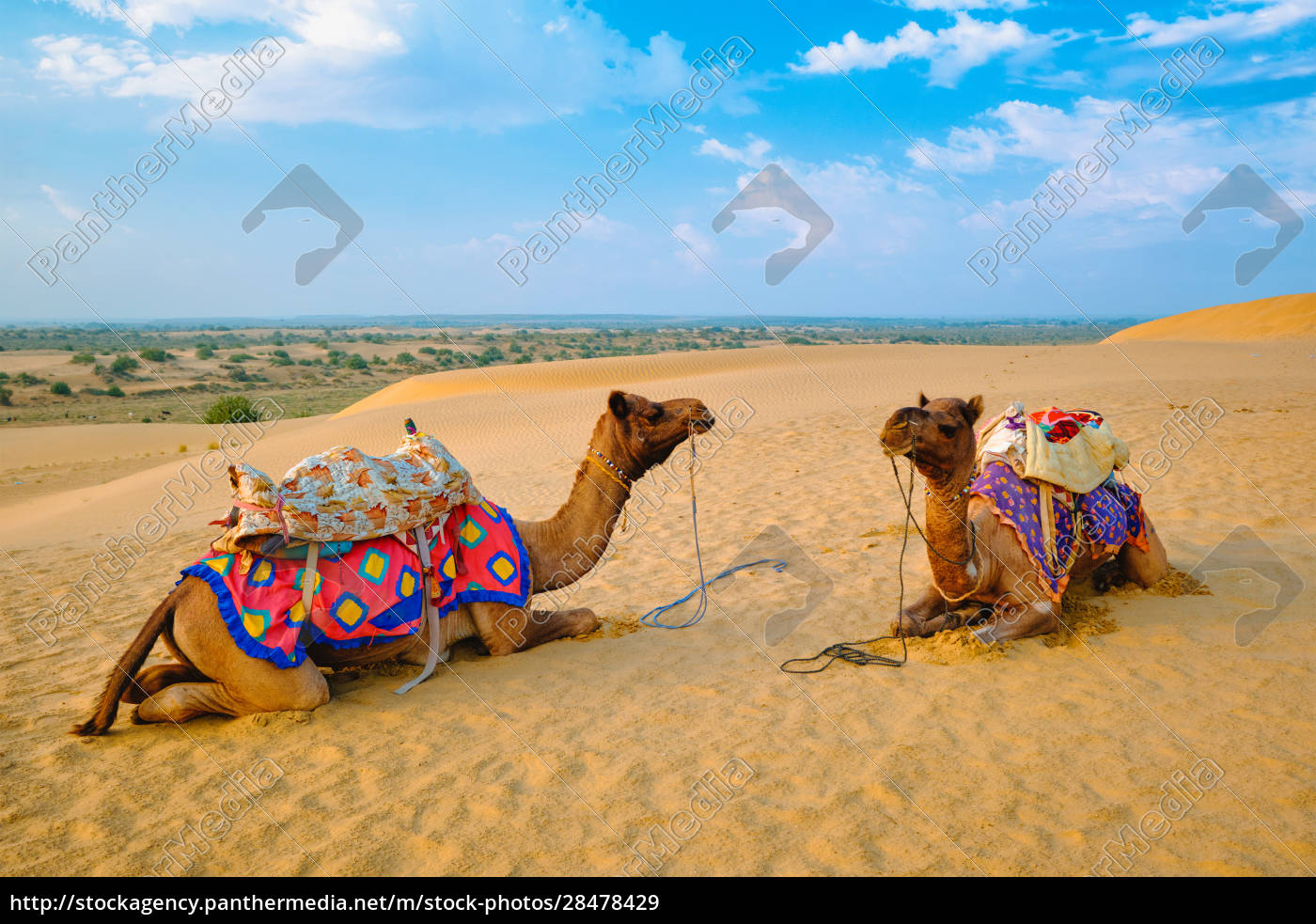 indian, camel, in, sand, dunes, of - 28478429