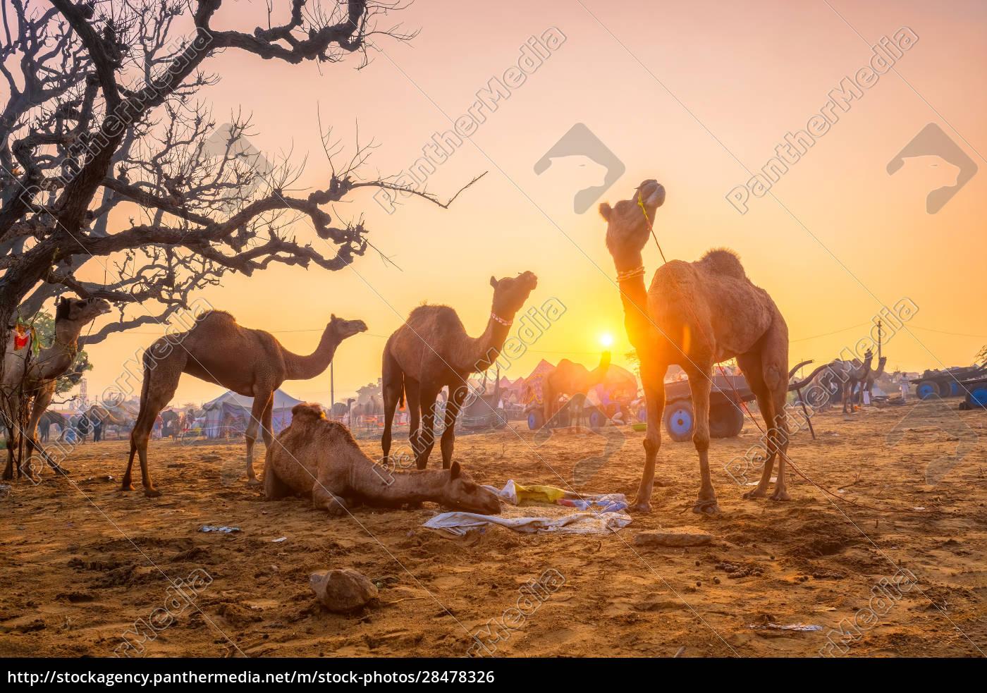pushkar, mela, camel, fair, festival, in - 28478326