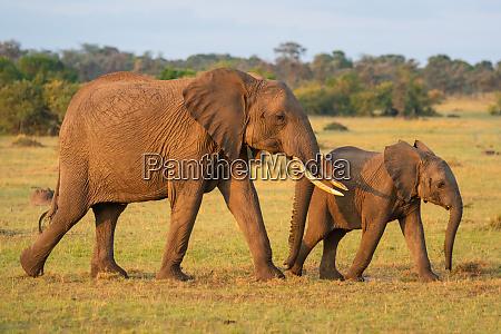 afrikanischer elefant und kalb wandern durch