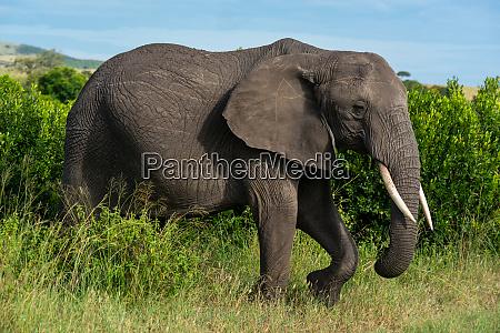 afrikanischer elefant hebt fuss zu fuss