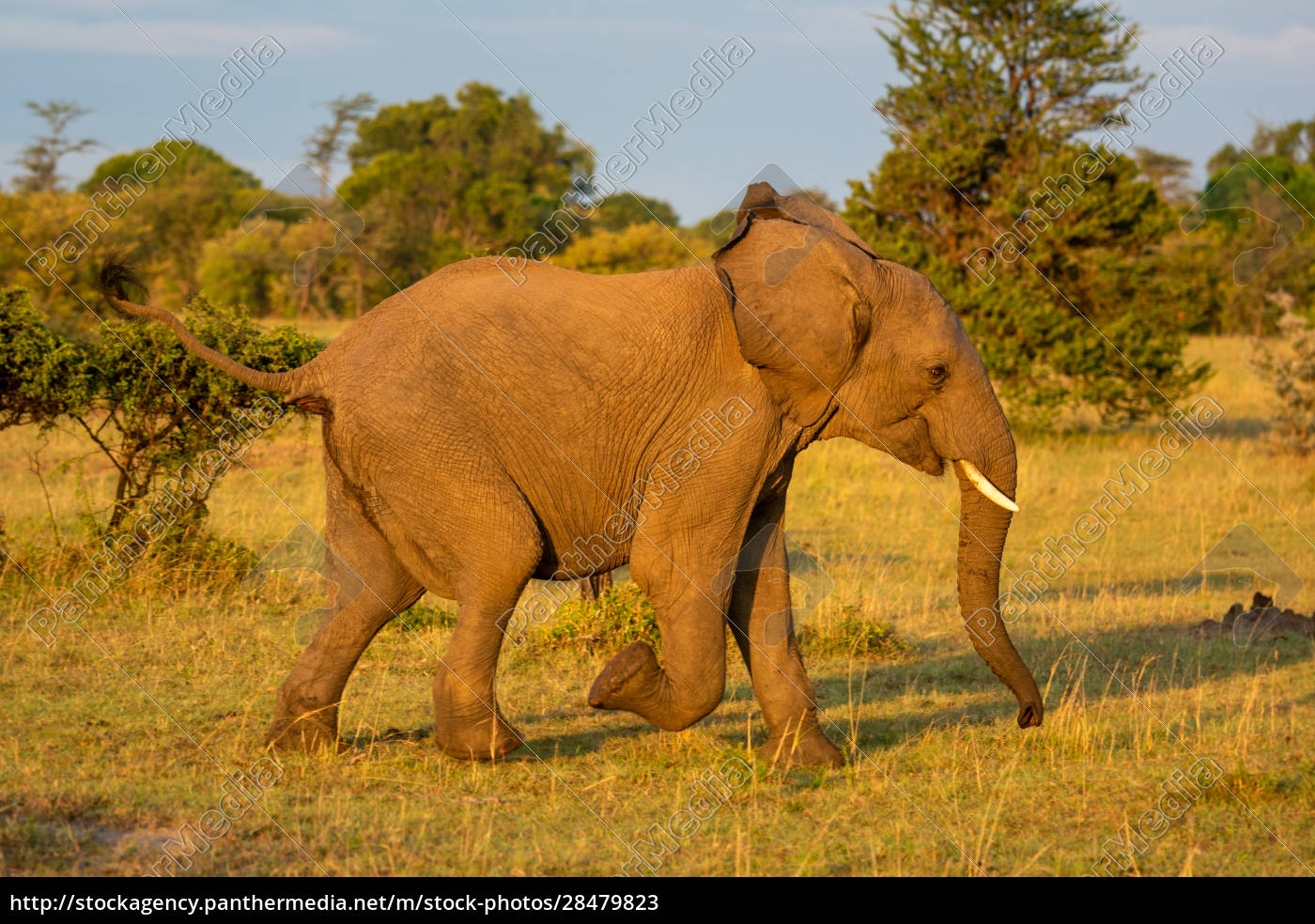 afrikanischer, elefant, rennt, an, büschen, in - 28479823