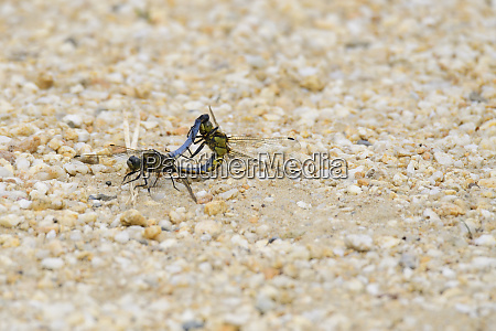 black tailed skimmer orthetrum cancellatum on