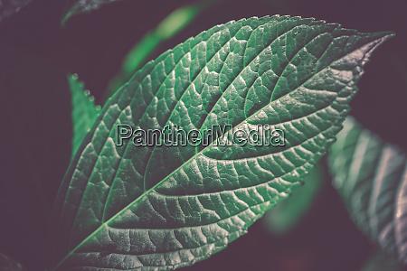gruene blaetter von hartholz bild
