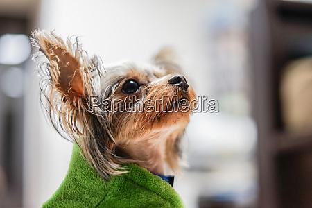suesse yorkshire terrier begleittiere