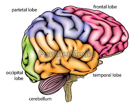 hirnanatomie diagramm