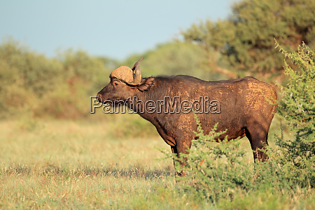 african buffalo in natural habitat