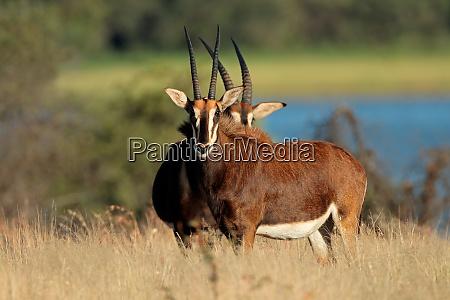 sable antilopen im natuerlichen lebensraum