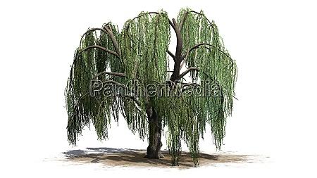 weinender weidenbaum isoliert auf weissem