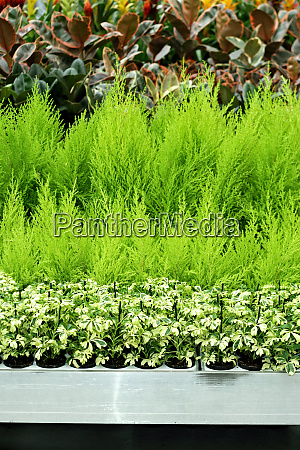 conifer plants