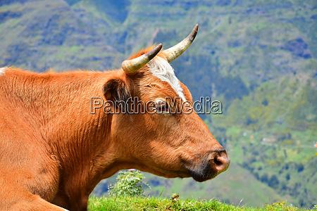 portraet einer braunen kuh mit hoernern