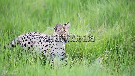 servalkatze im grasland der savanne in