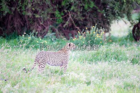 gepard im grasland in der savanne