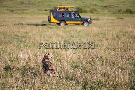 ein gepard in der graslandschaft zwischen