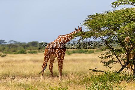 somalia giraffen essen die blaetter von