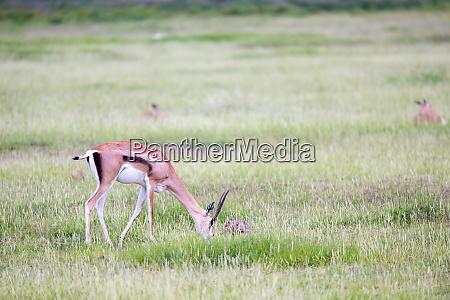 gazelle weidet im grasland der savanne