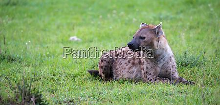 die hyaene liegt im gras in