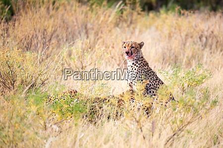 ein gepard der mitten im gras