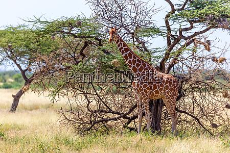 savanne wandern stehen sommer tag fauna