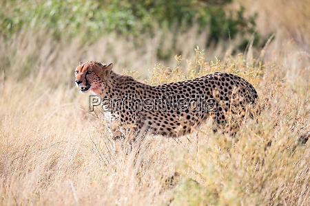 ein gepard im gras in der