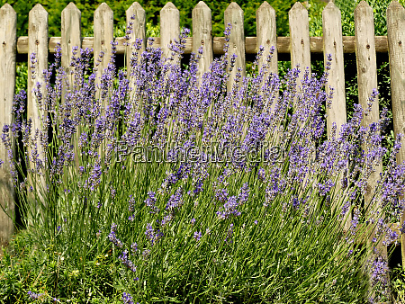 lavender flower of the medicinal herb