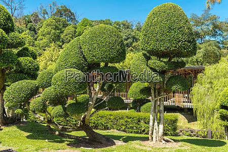 topiary boxbaeume im botanischen garten von