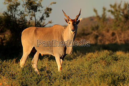 eland antelope in natural habitat