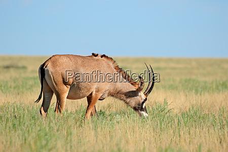 roan antilope im grasland