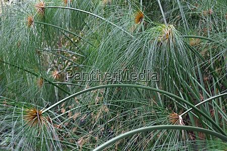 papyruspflanzen, in, blüte - 28629804