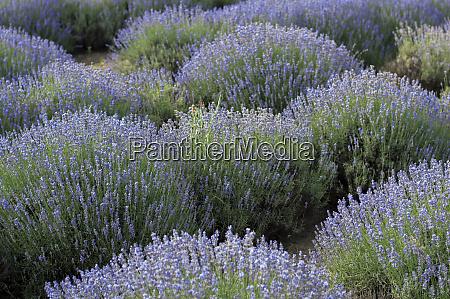 bluehende lavendelstraeucher