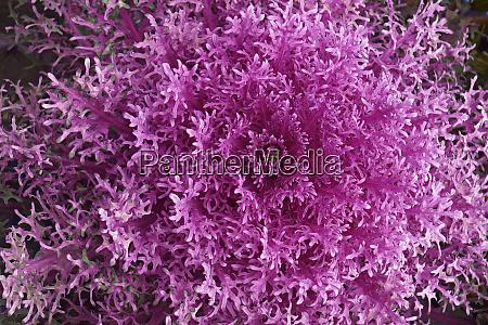 nahaufnahme bild der ornamental kale pflanze