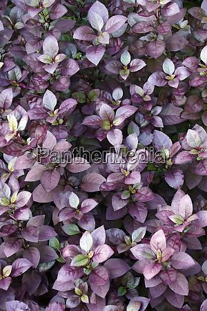 lila prinz joyweed pflanzen