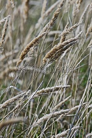 nahaufnahme von reedgrass