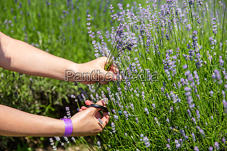 frau hand picking lavendel