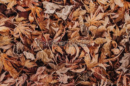 blaetter auf dem boden mit frost